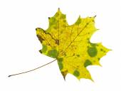 Yellow spotty autumn maple leaf isolated on the white background — Stock Photo