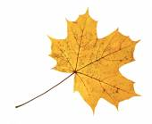 Brown autumn maple leaf isolated on the white background — Stock Photo