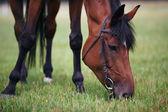 Chestnut horse eating grass — Stock Photo