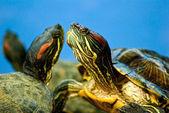 Image of turtles on a blue background — ストック写真