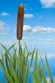 Reeds against the sky — Stock Photo