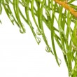 Fir branches with drops — Stock Photo #60694195