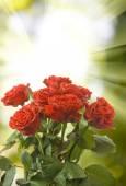 Veel mooie rozen op onscherpe achtergrond — Stockfoto