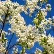 Blooming branch against the blue sky — Stock Photo #65380843