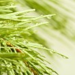 Image of fir branches with drops — Stock Photo #65382047