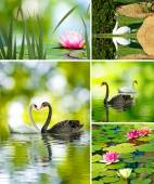 Beautiful lotus flowers and swans — Photo