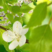 Blossoming branch on a green background — Stock Photo