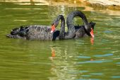 Image of black swans on the water — Stock Photo