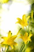 Beautiful yellow day-lily flowers against the sun — 图库照片