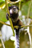 Black tufted ear marmoset in the woods — Stock Photo