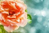 美しいバラ — Stock fotografie