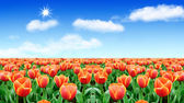 Beautiful tulip — Stock Photo
