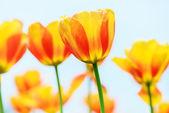 Mooie tulip — Stockfoto