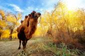 The camel and the Euphrates Poplar Forests — Stock Photo