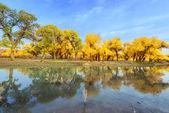 Inner Mongolia, China Populus euphratica — Stock Photo