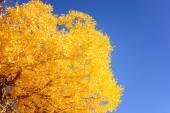 Mongólia interior, China Populus euphratica — Fotografia Stock