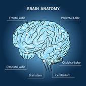 Brain Anatomy — Stock Vector