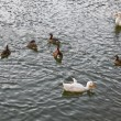 A flock of ducks splashing in the lake water. — Stock Photo #54601899