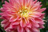 красивые осенние цветы - георгина астер семьи. — Стоковое фото