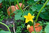 The largest fall vegetable pumpkin - Cucurbita pero L. — Stock Photo