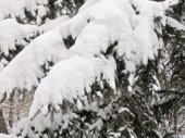 Snow on the branches of spruce — Stock Photo