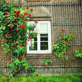 Beautiful red roses catching eyes  — Stock Photo