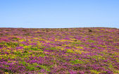 Field covered with wild  flowers — Stock Photo