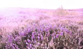 Cap Erquy hills covered with violet heather flowers — 图库照片