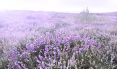 Cap Erquy hills covered with violet heather flowers — Stock Photo