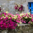 Old stone wall decorated with colorful petunia flowers — Stock Photo #56093099