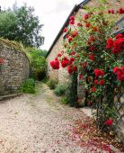 Red roses bushes near old rural house — Stock Photo