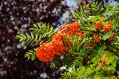Ripe bunches of rowan berries — Stock Photo
