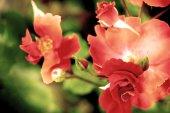 Red dog roses — Stok fotoğraf