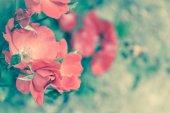 Pink dog roses — Stockfoto