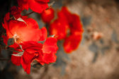 Red dog roses — Stock Photo