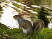 Eastern Fox squirrel near the lake in the park — Stock Photo