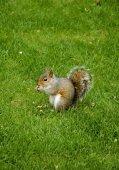 Este Fox ardilla en el Parque — Foto de Stock