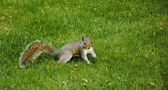 Eastern Fox squirrel in the park — Stock Photo