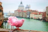 Pink pigeon on bridge — Stock Photo