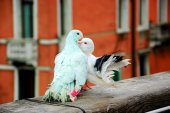 Colorful kissing pigeons on bridge — Stock Photo