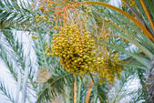 Phoenix dactylifera — Stock Photo