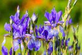 Flower blue iris — Stock Photo