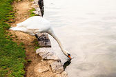 Swans, and all that is around Lake Bled — Stock Photo