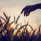 Man reaching out to touch wheat ears — Stock Photo