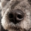 Close up of the wet nose of a dog — Stock Photo #60443543