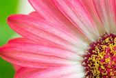 Macro detail of a pink Gerbera flower — Stock Photo