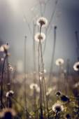 Dandelion clocks with bright sun flare for an ethereal nature ba — Stock Photo
