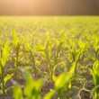 Field of green maize or corn plants backlit by the sun — Stock Photo #68709413