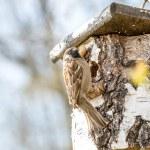 Bird Perched on Rustic Birch Stump Bird House — Stock Photo #70413623