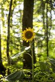 Beautiful yellow sunflower blooming — Stock Photo